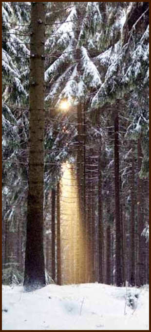 Sun through winter pine trees